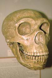 Cast of skull of Neanderthal Man